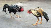 Fight chicken © GREASE
